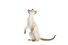 Siamese cat standing Stock Photography