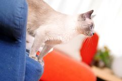 Siamese Cat Standing on an Armchair Stock Photography