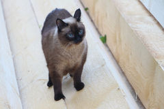 The Siamese cat standing on a board Royalty Free Stock Images