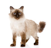 Siamese cat standing in front. isolated on white b Royalty Free Stock Photos