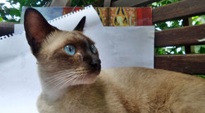 Siamese cat staring at the bird on the tree Royalty Free Stock Images