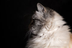 Siamese cat staring into the darkness Stock Image