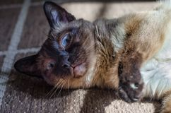 Siamese cat in rest Royalty Free Stock Photography