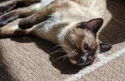 Siamese cat in rest Royalty Free Stock Image