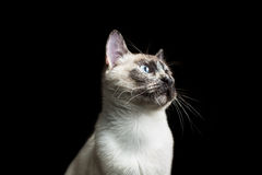 Siamese cat. Studio siamese cat portrait isolated on black background Royalty Free Stock Photography