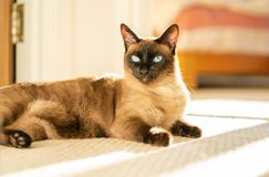 Siamese cat in sunlight royalty free stock photo