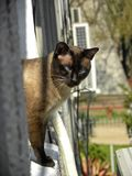 A Siamese cat in the sunlight stock photography