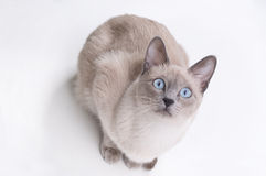 Siamese Cat Taken From the Above. On the white background Stock Images