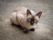 Siamese cat. Thai famous cat. Thai famous cat (Siamese Cat, Moon Diamond, Seal Point) in dark and light brown hair and blue eyes looking and warily on floor Stock Photo