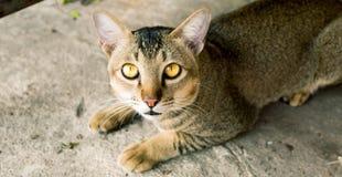Siamese Cat. A thai local Shorthair Cat Royalty Free Stock Photos