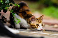 Siamese cat in Thailand. Three colors cat, cute cat on the floor royalty free stock image