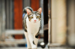 Siamese cat in Thailand, very cute, funy and smart cat Stock Photography