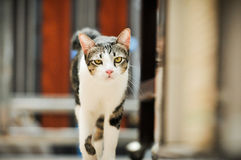 Siamese cat in Thailand, very cute, funy and smart cat Royalty Free Stock Photography