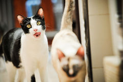 Siamese cat in Thailand, very cute, funy and smart cat Stock Photo
