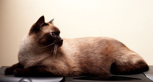 Siamese cat. A Siamese tomcat resting on his belly Royalty Free Stock Image