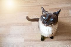 Siamese cat top view stock images