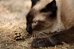 Siamese cat - touching a nature Stock Images