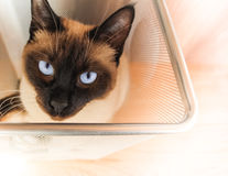 Siamese cat in a trash bin #3 Royalty Free Stock Image