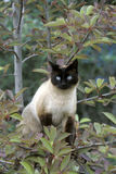 Siamese Cat in tree Stock Photo