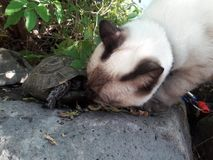 A cat and a turtle meets in the garden. A siamese cat and a turtle meets in the garden for a sniff and hello Stock Photos