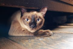Siamese cat under a cabinet Stock Image