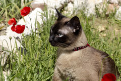 Siamese cat on a walk stock images