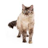 Siamese Cat Walking Royalty Free Stock Image