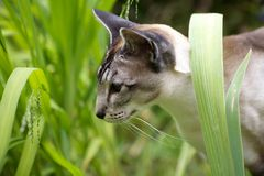 Siamese cat walking through garden Stock Photos