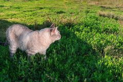 Siamese cat walking on a green meadow on a Sunny day. Side rear view. royalty free stock images