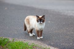 Siamese cat walking on the pavement in search of tasty royalty free stock photography