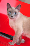 Siamese Cat Walking on a Red Chair Stock Image