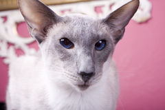 Siamese Cat Watching Royalty Free Stock Photography
