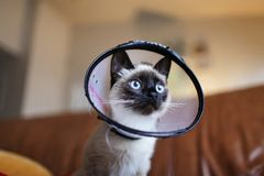 Siamese Cat Wearing Colar Cone Royalty Free Stock Photos