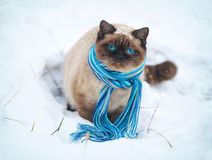 Siamese cat wearing scarf. Walking on the snow Stock Photos
