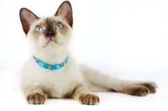 Siamese cat . Stock Photo