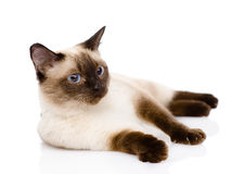 Siamese cat.  on white background Stock Photos