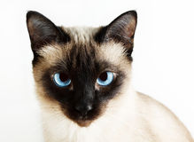 Siamese cat. On white background royalty free stock photography