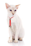 Siamese Cat on a white background Royalty Free Stock Photo
