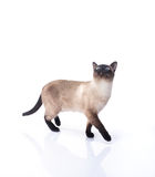 Siamese cat  on a white background Stock Images