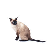 Siamese cat  on a white background Stock Photos