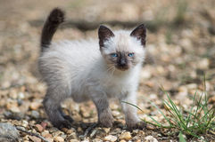Siamese cat. White and brown siamese baby cat eith blue eyes walking in the grass Stock Images