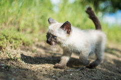 Siamese cat. White and brown siamese baby cat eith blue eyes walking in the grass Stock Photography