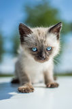 Siamese cat. White and brown siamese baby cat eith blue eyes walking in the grass Royalty Free Stock Images