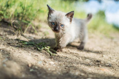 Siamese cat. White and brown siamese baby cat walking in the grass Royalty Free Stock Image
