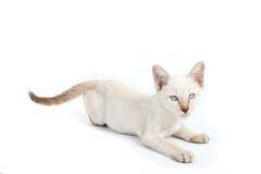 Siamese cat Royalty Free Stock Photo