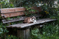 Siamese cat on a wooden bench Stock Images