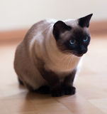Siamese cat on wooden floor Stock Images