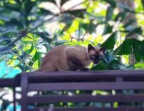 Siamese cat on wooden rail on the terrace Royalty Free Stock Photos