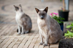 Siamese cats Royalty Free Stock Image
