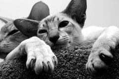 Siamese cats. Two Siamese cats sleeping together Royalty Free Stock Images